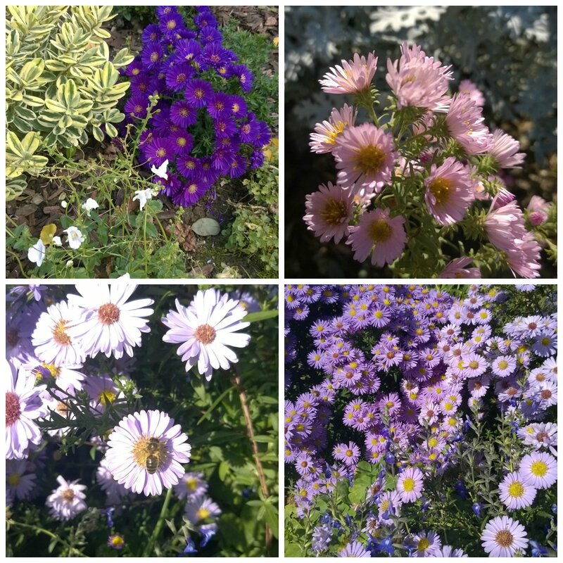 PicMonkey asters