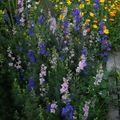 2009 08 28 Les pieds d'alouettes en fleurs