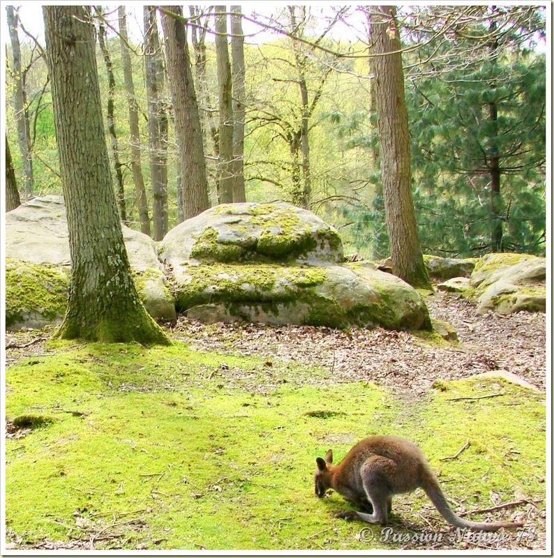 wallabies de la forêt de Rambouillet (3)