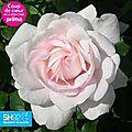 rose blush H90cm D60 E