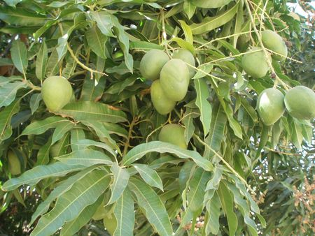 mangues fruits