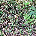 Cèpes d'été parmi le lierre et les arbuscules.