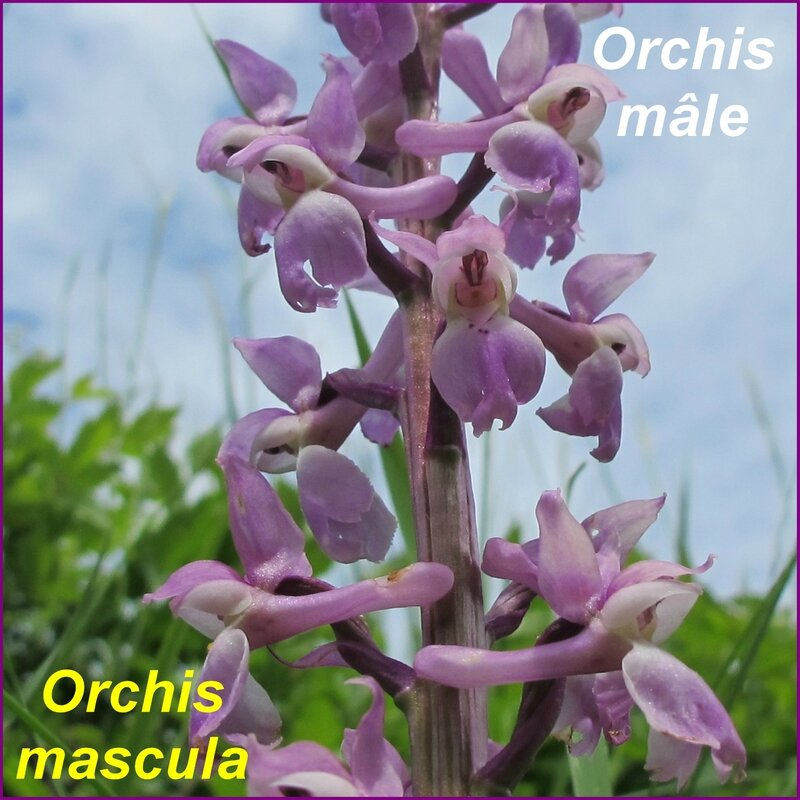 Orchis mascula - comp