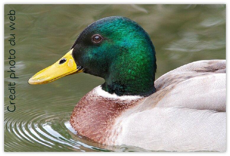 bigstockphoto_duck_1193932