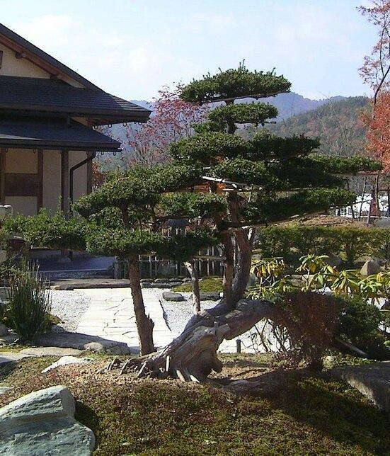 Niwaki et taille en nuage niwaki sukashisentei for Olivier taille nuage