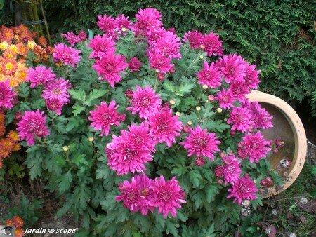 Chrysanthemum indicum mauve