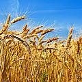 Le blé en herbe (version cuisine)
