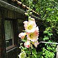 - roses tremiere sous la pluie -