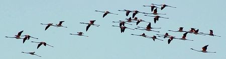 Flamands_roses_en_vol_avril_08_camargue_s_rr___2_