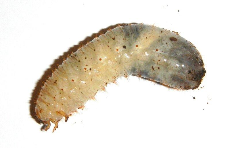 Chloracala africana africana L3 - CM1 Alexandre Vadet