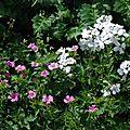 Geranium x oxonianum 'winscombe', geranium pyrenaicum 'summer sky', hesperis matronalis ' alba'