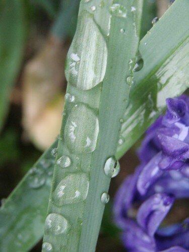 2008 04 11 Des gouttes d'eau sur des feuilles de Narcisses