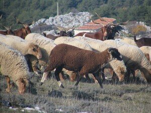 Moutons___Caussols_2