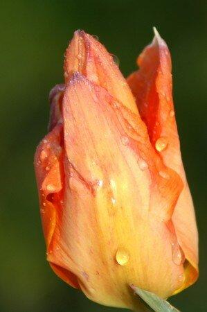 tulipe002_600
