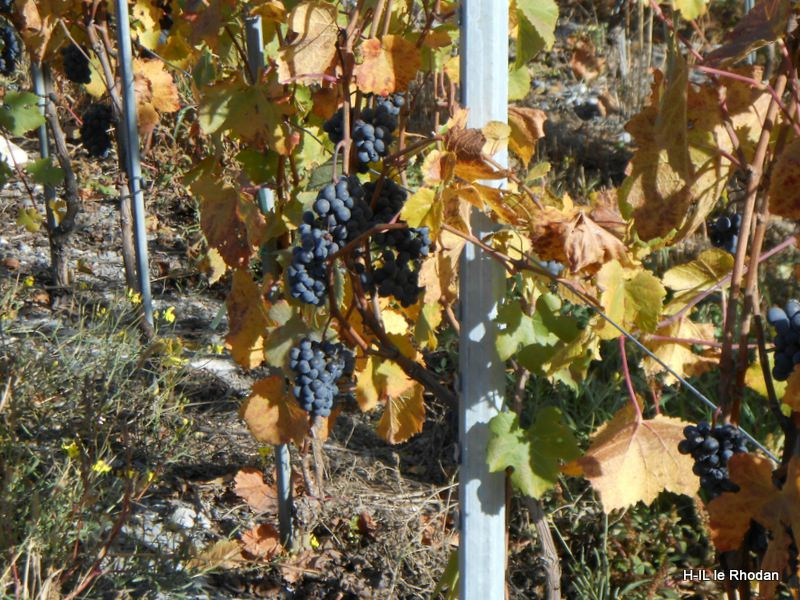 12-Vignes en or 012