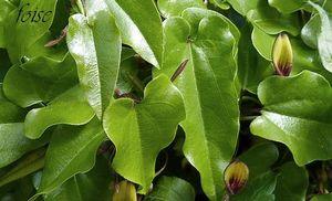 feuilles luisantes triangulaires