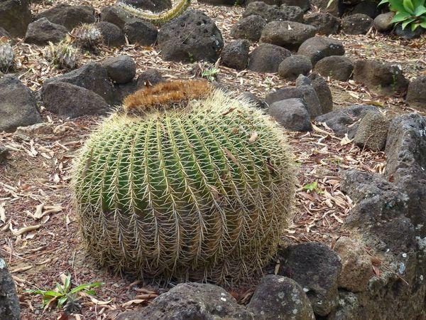 0 cactus P1010779 x
