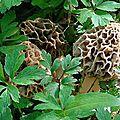Morilles communes parmi les anémones des bois