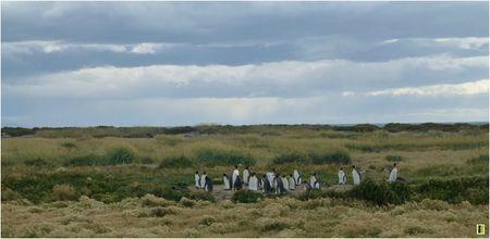 tierra-del-fuego_colonie-pingouins-royaux
