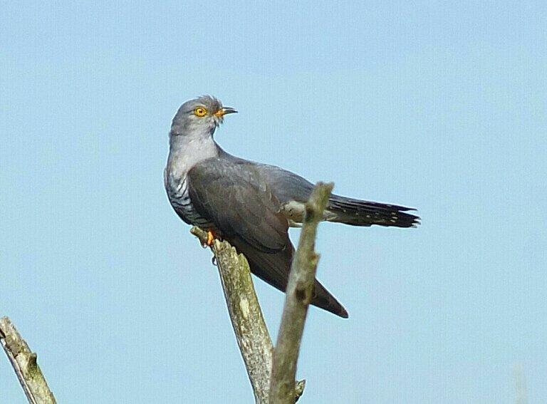 Coucou gris, Kuckuk, Common Cuckoo