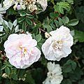 Copie (2) de Roses du jardin fin Mai 2009 (156)