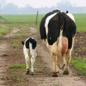 Vache parent et enfant chez gloewen et scrat 2