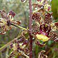 Cyrtopodium parviflorum : De gueules et d'or