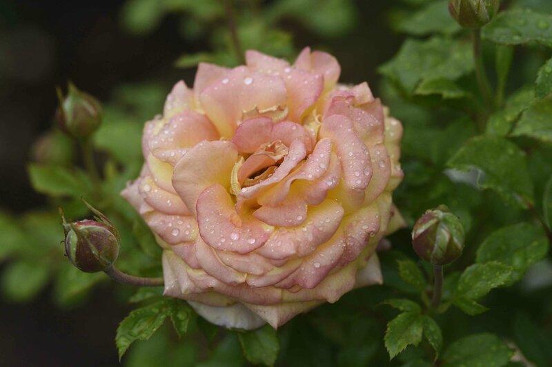 rose après la pluie1