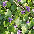 violettes b 58 (20)