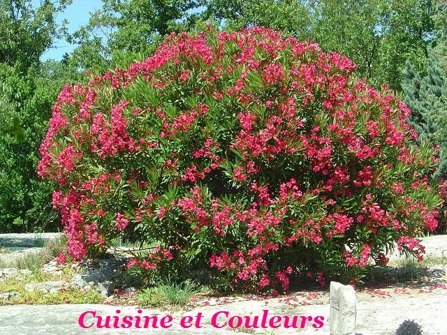 Laurier rose au jardin photo de couleurs ard che - Ou planter un laurier rose ...