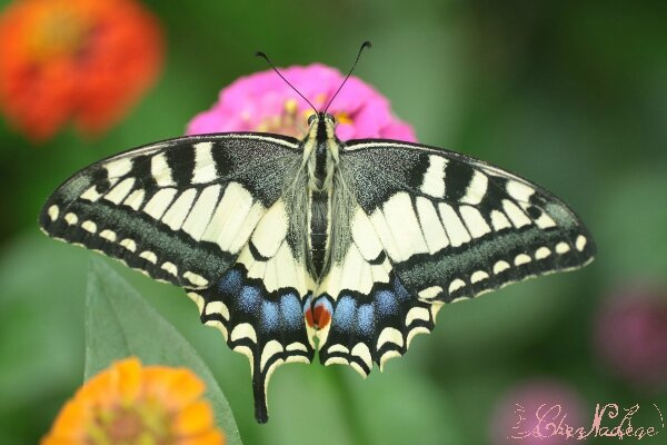 machaon_8