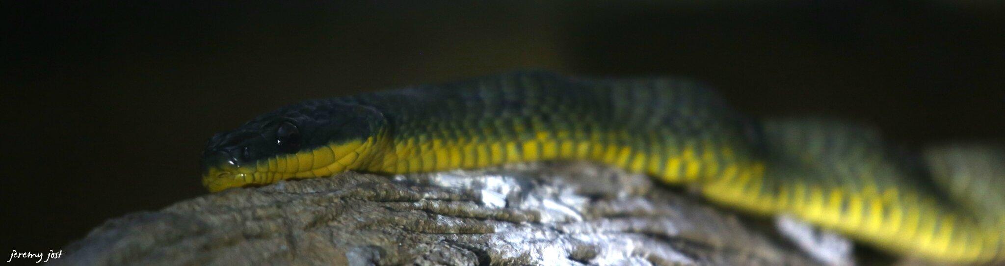 snake costa rica