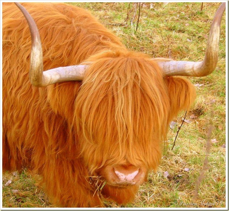 La vache de race Highland (6)