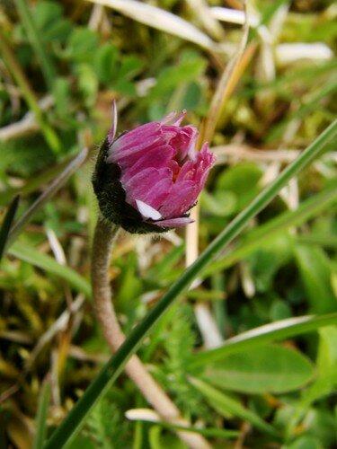 2008 05 02 Une pâquerette qui va fleurir