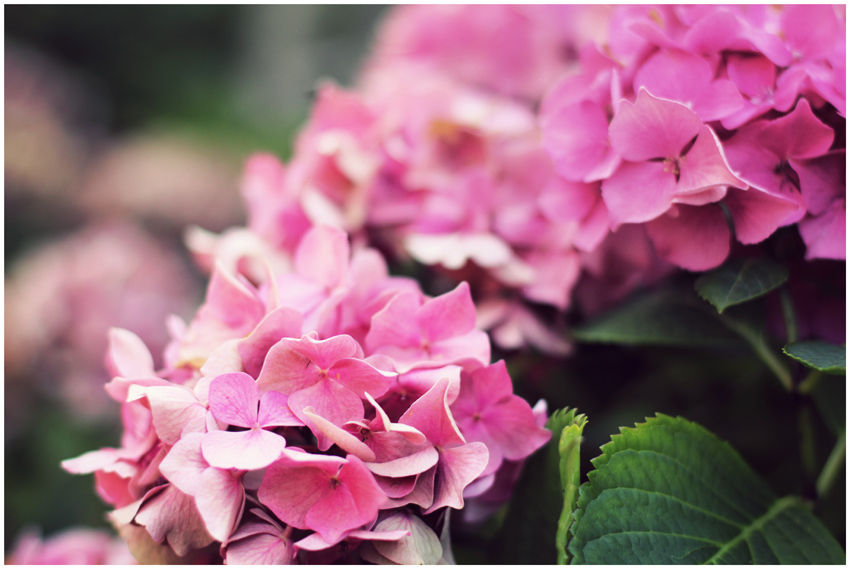 Hydrangea_small