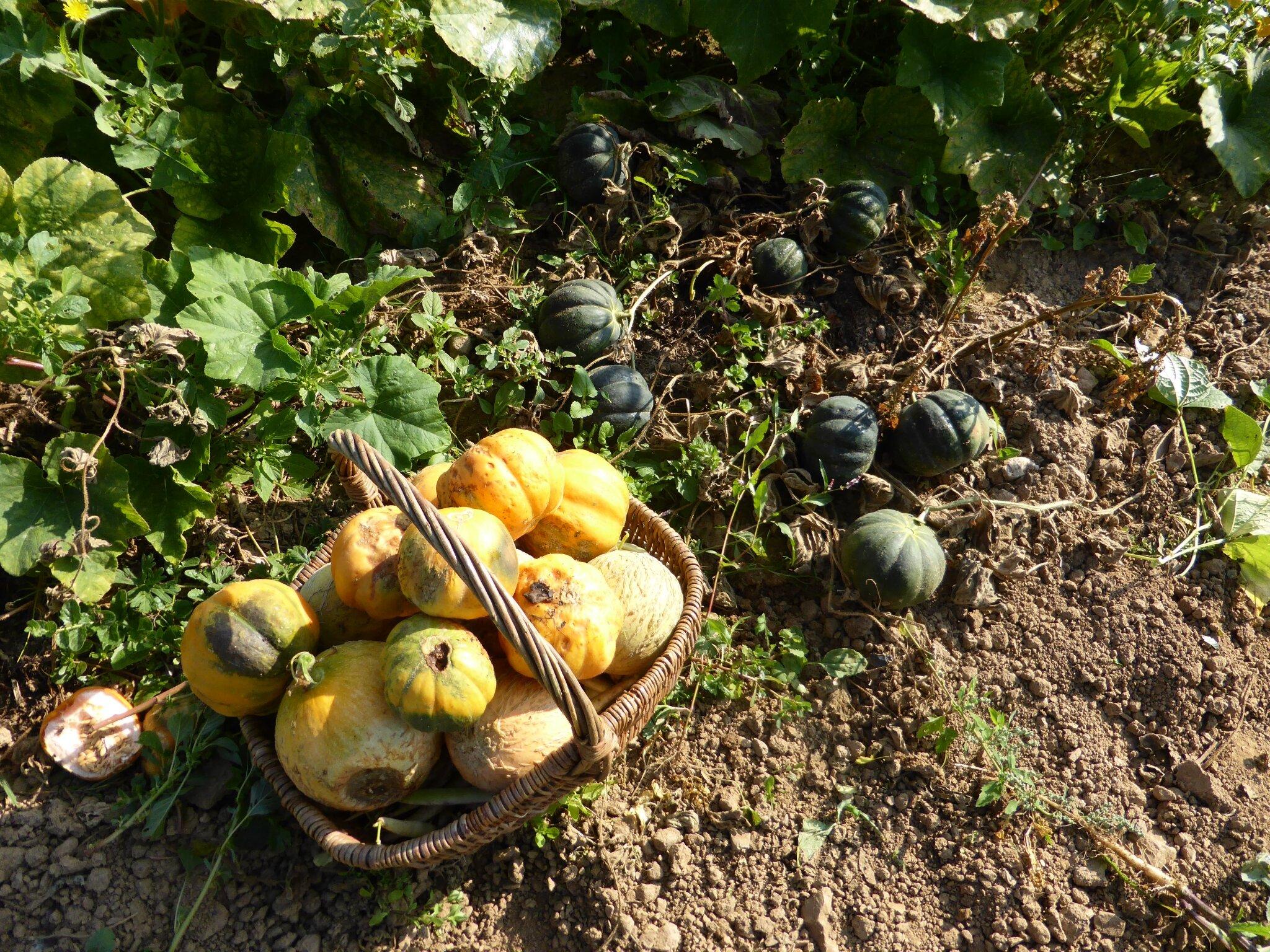 12 septembre le melon n 39 est pas toujours sucr passion potager - Quand recolter les melons ...