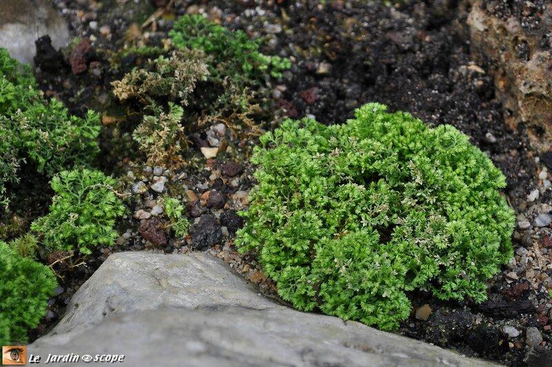 Selaginella kraussiana var.brownii • Selaginellaceae
