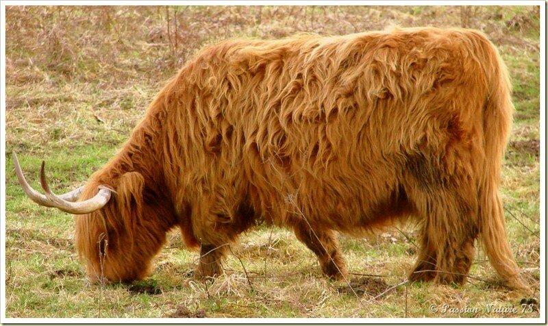 La vache de race Highland (16)