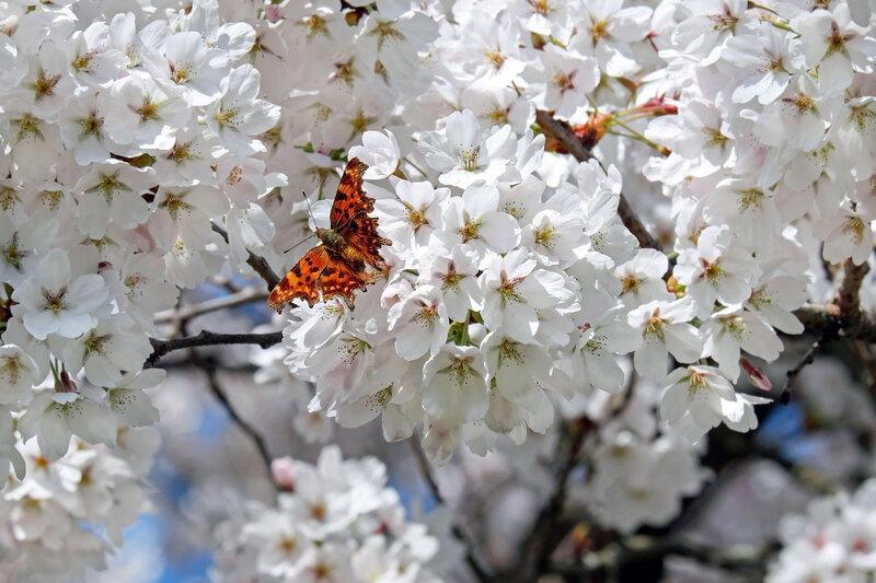 japanese-cherry-trees-2169269_1920