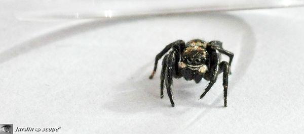 Pseudeuophrys-Erratica