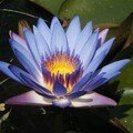Macintosh HD:Desktop Folder:photos nature:FLEURS:fleur-lotus-parc-ha-vietnam