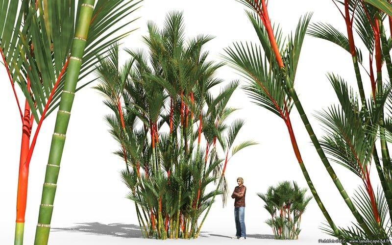 02 Cyrtostachys renda lakka lipstick palm plant tree 3d model TPF The Factory 3ds c4d max obj vue present 1