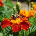 2008 08 02 Une abeille sur une fleur d'oeillet d'Inde