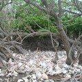 Un désert de coque de lambis