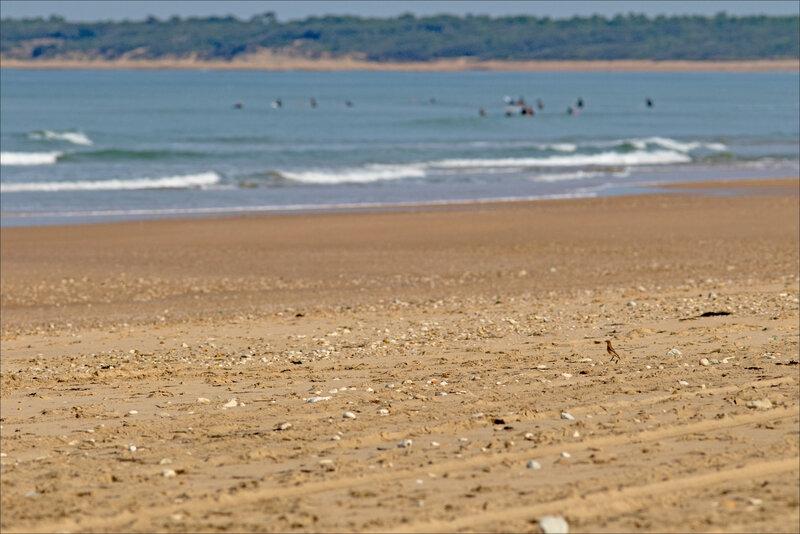 MS Oléron 260817 9 oiseau traquet estivants