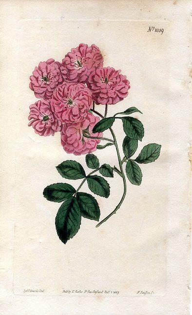 1807 CURTIS Rosa multiflora