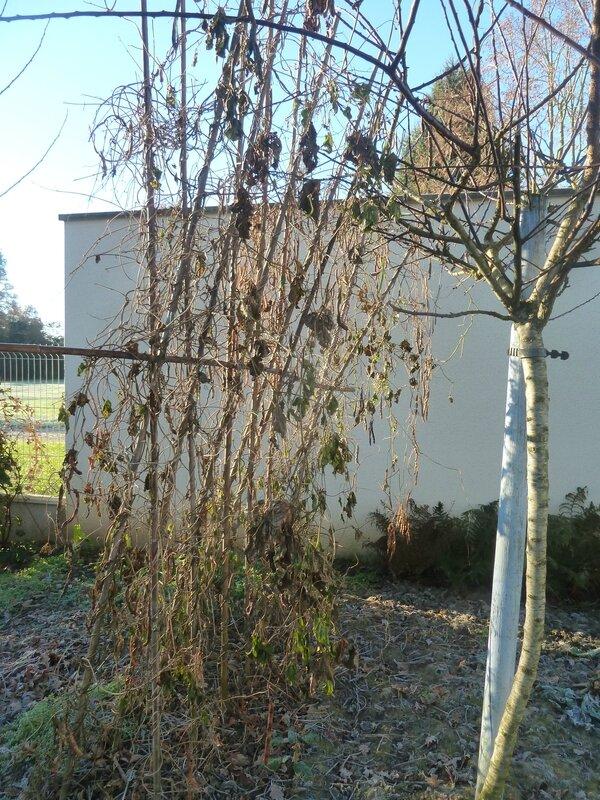 10-haricots et prunier (2)