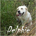 Delphie, Golden Rétriever