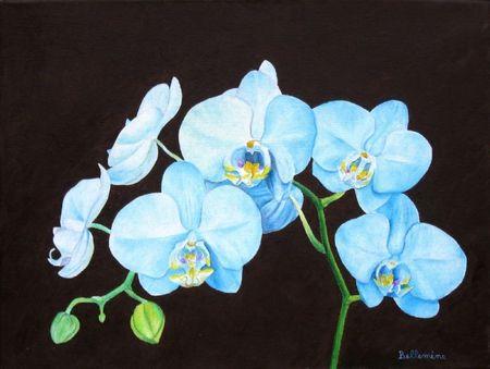 Phalaenopsis bleue