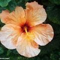 8881-Hibiscus